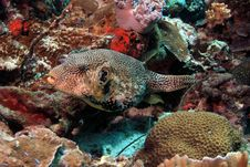 Free Puffer Fish Royalty Free Stock Photography - 6903047
