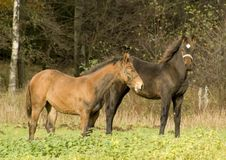 Free Two Foals On The Field Royalty Free Stock Image - 6904096