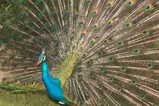 Free Peacock Stock Image - 6904111