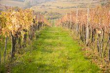 Vineyard And Rows Royalty Free Stock Photo