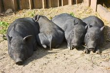 Free Black Pig With Piglets Stock Photography - 6904442