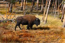 Free Bison Stock Photos - 6905543