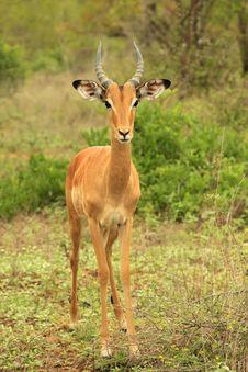 Free Bambi Royalty Free Stock Images - 6906459