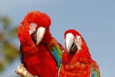Two Red Macaw Parrots On One Branch Stock Images