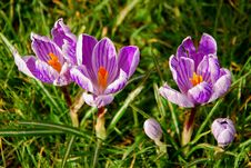 Free Crocuses In A Green Grass Royalty Free Stock Photo - 6908305