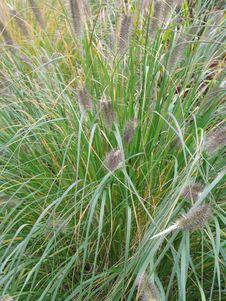 Free Long Green Grass Stock Photo - 6908550
