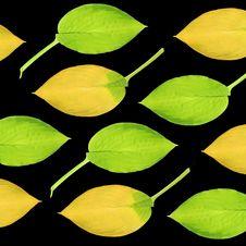Hosta Leaves Stock Images