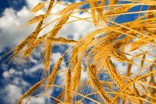 Free Golden Wheat Stock Image - 6909781