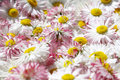 Free Daisy Flowers Background Stock Images - 6916864