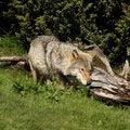 Free European Grey Wolf Stock Photos - 6918913