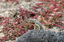 Free Little Lizard Royalty Free Stock Photography - 6910157