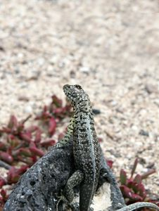 Free Looking Lizard Stock Photo - 6910160