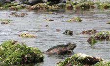 Free Marine Iguana Stock Image - 6910161