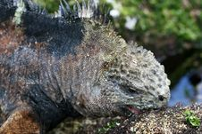 Free Galapagos Marine Iguana Stock Photo - 6910170