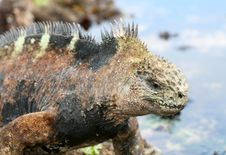 Free Marine Iguana Royalty Free Stock Photo - 6910175