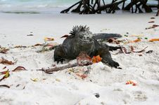 Free Marine Iguana Stock Image - 6910221