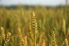Free Search For The Best Wheat In Life Stock Photo - 6910380