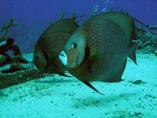 Free Pair Of Grey Angel Fish, Sunset Reef, Grand Cayman Royalty Free Stock Photography - 6910567
