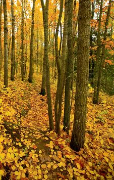Free Golden Trail Through North Woods Royalty Free Stock Photography - 6910617