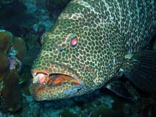 Free Grouper And Teeth, Grand Cayman Stock Photography - 6910662