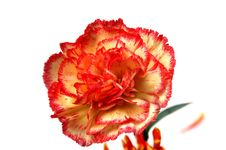 Free Red Flower Stock Photo - 6910870