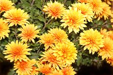 Free Chrysanthemum Royalty Free Stock Photo - 6911155