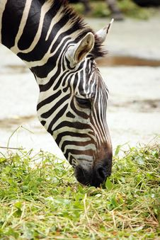 Free Zebra Eating Stock Photos - 6911193
