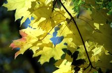 Free Maple Autumn Leaves -1 Stock Photography - 6911732
