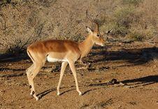 Free Impala: Aepyceros Melampus Stock Images - 6911734