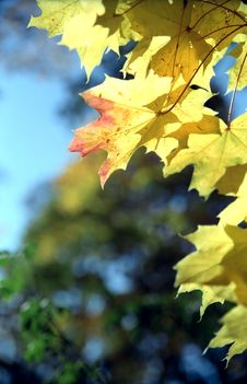 Free Maple Autumn Leaves -2 Royalty Free Stock Photos - 6911738