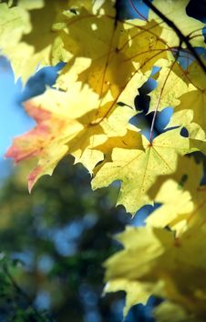 Free Maple Autumn Leaves -3 Stock Images - 6911744