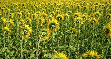 Free Sunflower Field Royalty Free Stock Images - 6912189