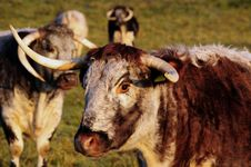 Free Longhorn Cattle Royalty Free Stock Photo - 6912435
