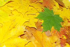 Autumn Maple Stock Photos