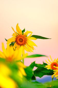 Free Sunset Sunflower Stock Photography - 6912722