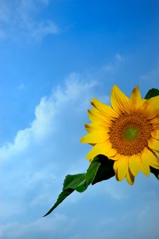 Free Sunflower In Blue Sky Stock Images - 6912934