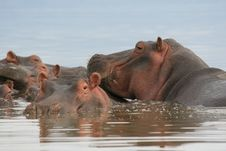 Free Hippo In Water Royalty Free Stock Photos - 6913108
