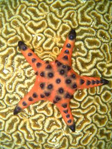 Free Starfish On Coral Stock Photos - 6913463