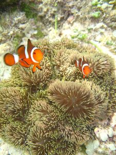 Free Nemo The Clownfish Royalty Free Stock Images - 6913499
