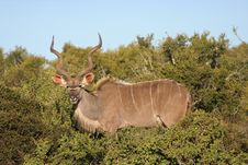 Free Kudu Bull Stock Photos - 6913943