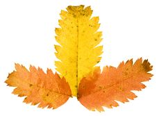 Free Autumn Leaf Royalty Free Stock Images - 6914369
