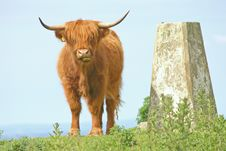 Free Highland Cow Royalty Free Stock Images - 6915249