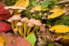 Free Mushrooms False Honey Agarics. Stock Photo - 6915490
