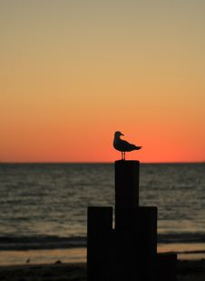 Free Seagull In Dusk Stock Photography - 6916232