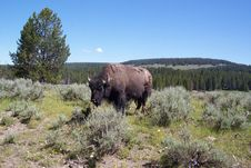 Free Bison Royalty Free Stock Image - 6916476