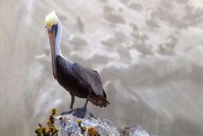 Standing Pelican At Pismo Beach California Stock Images