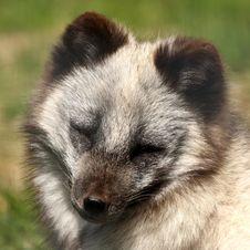 Free Arctic Fox - Alopex Lagopus Stock Image - 6918891