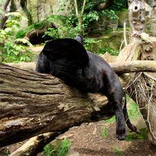 Free Black Jaguar Stock Photography - 6918972