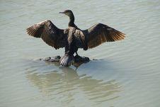 Free Bird The Big Cormorant. Royalty Free Stock Images - 6919019