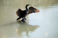 Free Bird The Big Cormorant. Stock Photography - 6919162